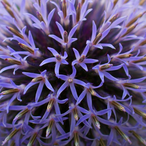 A close up  photograph of a Globe thistle flower head.